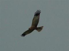 Marsh Harrier north of Munster