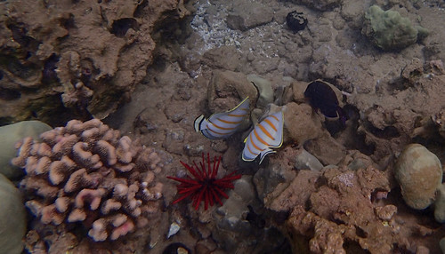 Ornate Butterflyfish, Maui