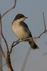 Young Kingbird_5672.jpg by Mully410 * Images