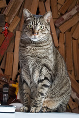 animal, tabby cat, small to medium-sized cats, savannah, pet, mammal, european shorthair, fauna, american shorthair, cat, whiskers, domestic short-haired cat,
