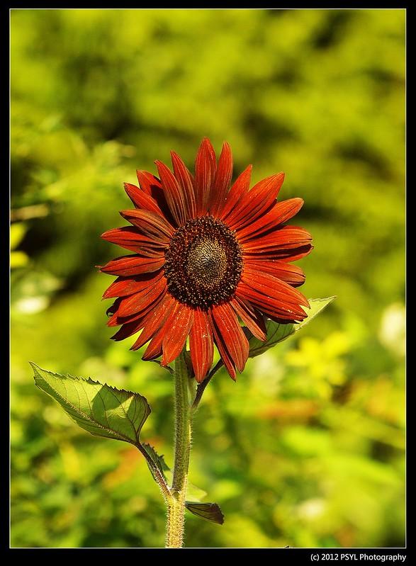 Dark Sun Flower