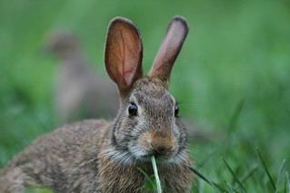 Eastern Cottontail Rabbit (Sylvilagus floridanus) | by Jim, the Photographer
