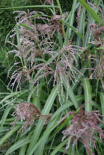 MISCANTHUS sinensis 'Zwergelefant'
