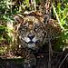 Jaguar (Dani Free)