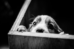 Peering Out Of The Whelping Box (Explored)
