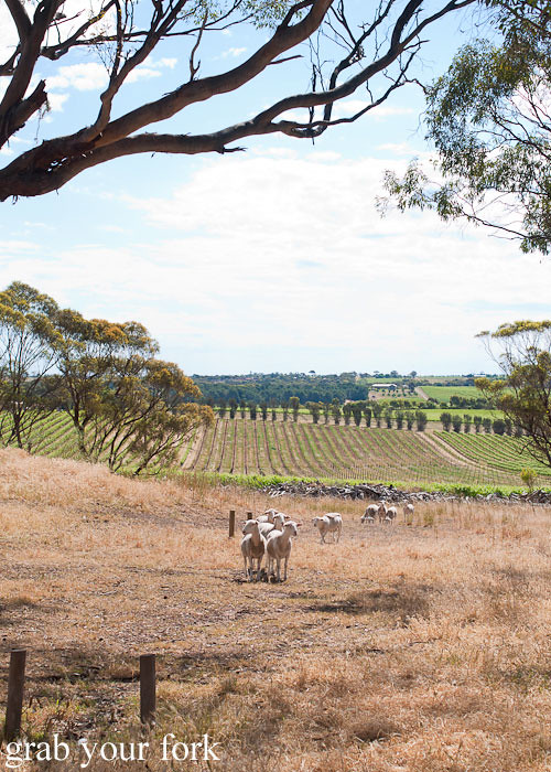 lambs at d'arenberg estate, mclaren vale
