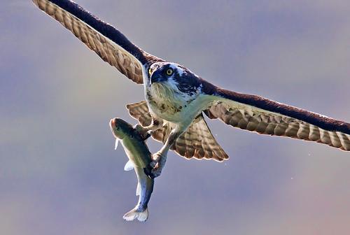 Osprey caught fish