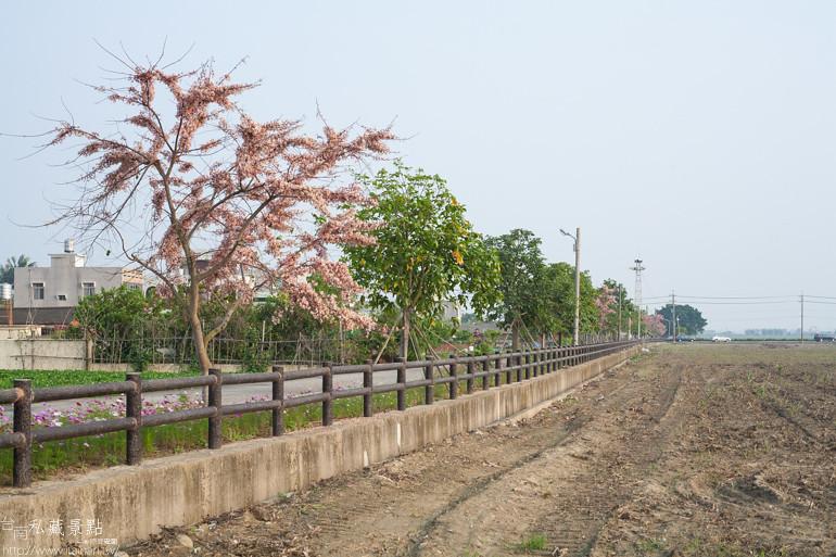 台南私藏景點--西港金砂里花旗木 (5)
