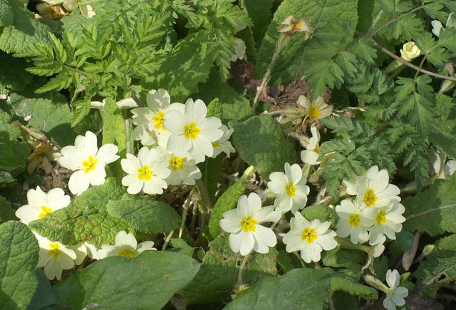 DSC_8200 Woodland primrose