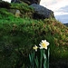 Wainstones Daffodil