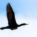 Double-crested Cormorant carrying a twig by A Great Capture