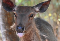 Female Sambar Deer,Rusa unicolor( Kerr,1792),Family: Cervidae