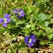 Viola sp.- violet