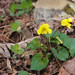 Viola pensylvanica-smooth yellow violet