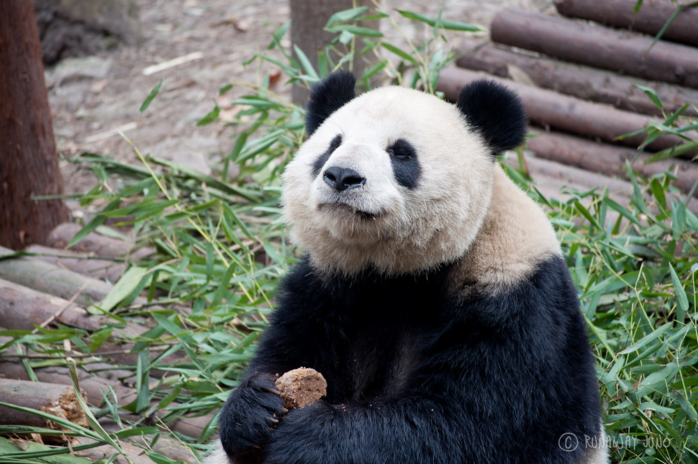 Happy_Panda_eating_food_Chengdu_Sichuan_China