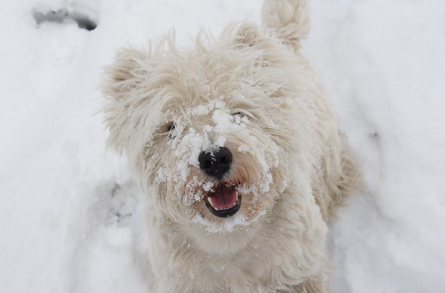 Cute Funny Puppy in the Snow West Highland White Terrier Westie