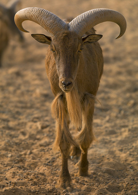 Libya >> Barbary Sheep, Ghadames, Libya | Flickr - Photo Sharing!