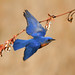 Eastern bluebird by Phiddy1