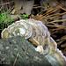BPH Mushroom 20
