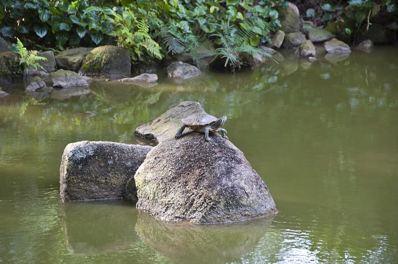 Черепаха на камне посреди пруда в Сингапуре