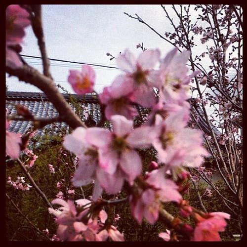 彼岸桜は五分咲きくらい