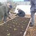 Transplanting rows of lettuce