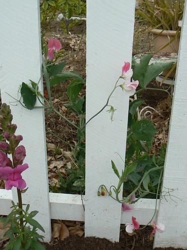 Sweet peas peeking through picket fence