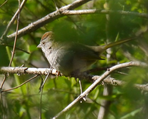 Green-tailed Towhee - 1