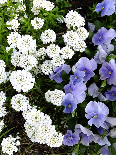 Candytuft and Pansies 2012