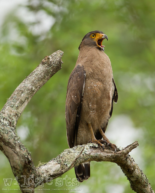 Crested Serpent Eagle - Yawning