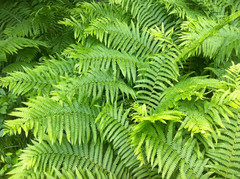 Ferns at Bradley Palmer (Digitally Edited Photo) by randubnick