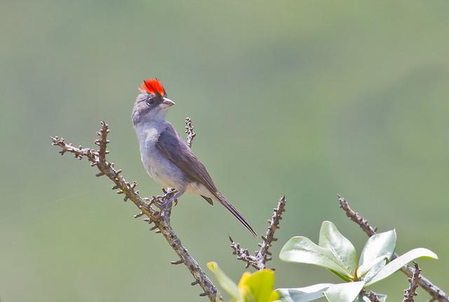 Pileated Finch - Brazilian Birds - Species # 019