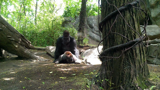 gorilla mating with woman