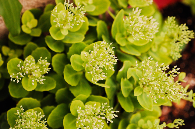 sedum starting to bud