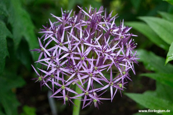 Sternkugel-Lauch (Allium christophii)