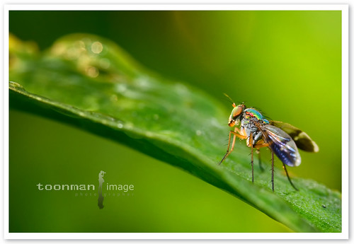 Long Legged Green Fly