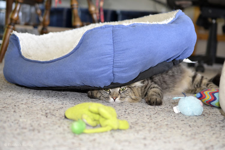 Tabby cat trying to hide under a cat bed, when she is much too big to do so, by Elizabeth Ruffing