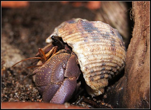 Coenobita brevimanus