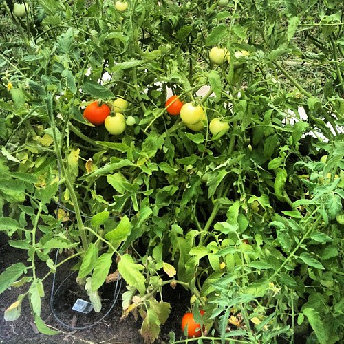 Lots of tomatoes in my future
