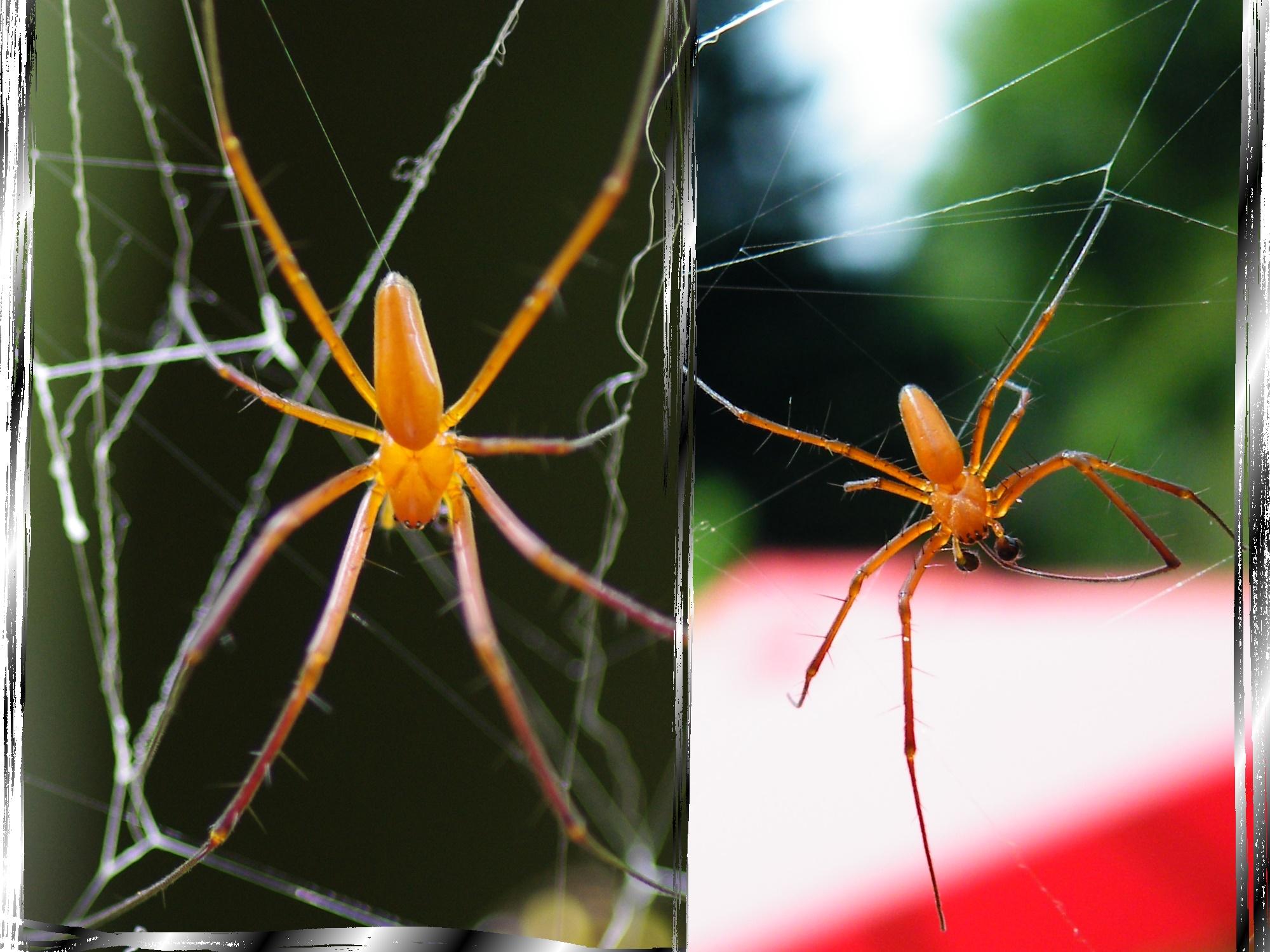 圖二:人面蜘蛛雄蛛,體型與母蛛差異極大