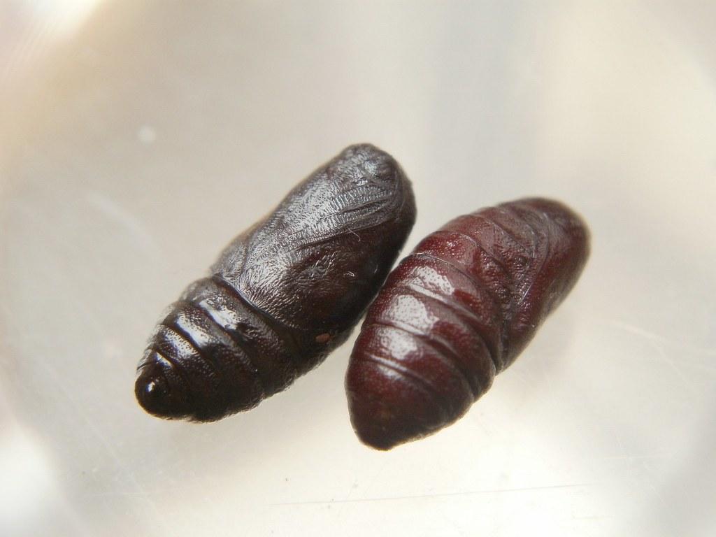 Cinnabar moth pupae, by SamuelMillar153 on Flickr