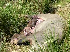 Au départ de Bucchinera : truie allaitant ses tout nouveaux-nés