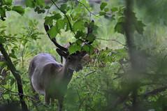 Deer and few Elk