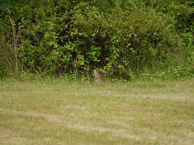 wild rabbit 3