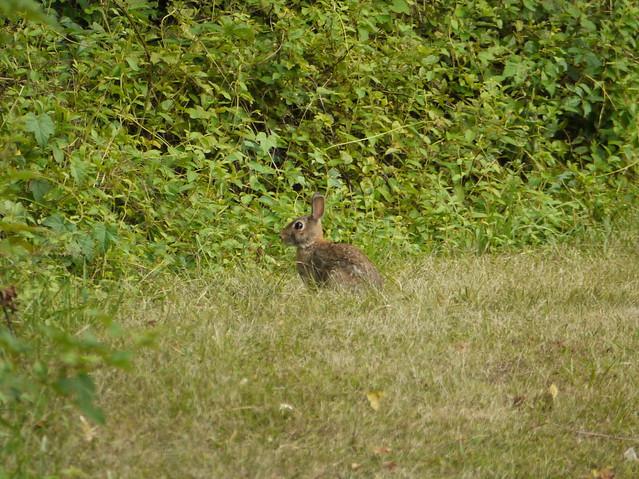 wild rabbit 7