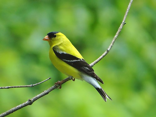 Mr. Goldfinch