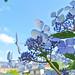 Hydrangea_Laurustinus 繡球花