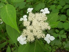 shrub, flower, guelder rose, hydrangea serrata, plant, wildflower, flora, produce,