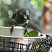 Small photo of Metallic Starling (Aplonis metallica) male eating