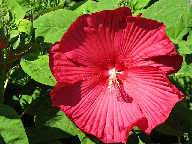 Flora Photography Number 12 - Red Hibiscus